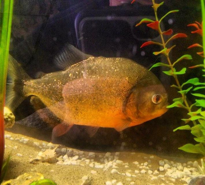 "Rated #88: Freshwater Fish - Pygocentrus Nattereri - Redbellied Pirhana Stocking In 26 Gallons Tank - 10"" red bellied piranha in my freshwater tank"