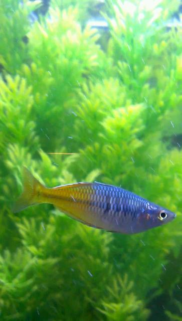 Rated #89: Freshwater Fish - Melanotaenia Boesemani - Boesemani Rainbow Stocking In 75 Gallons Tank - Rainbow fish