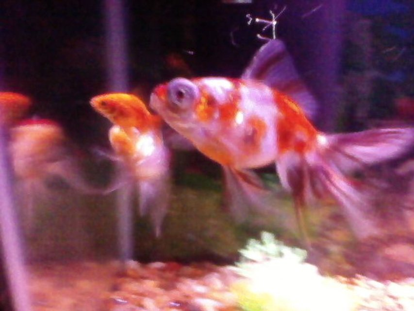 Rated #100: Freshwater Fish - Carassius Auratus - Ryukin Goldfish Stocking In 20 Gallons Tank - the gang