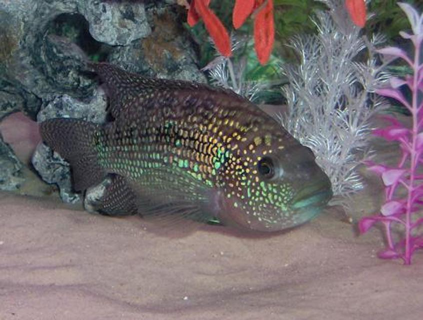 Rated #42: Freshwater Fish - Nandopsis Octofasciatum - Jack Dempsey Stocking In 75 Gallons Tank - Jack dempsey