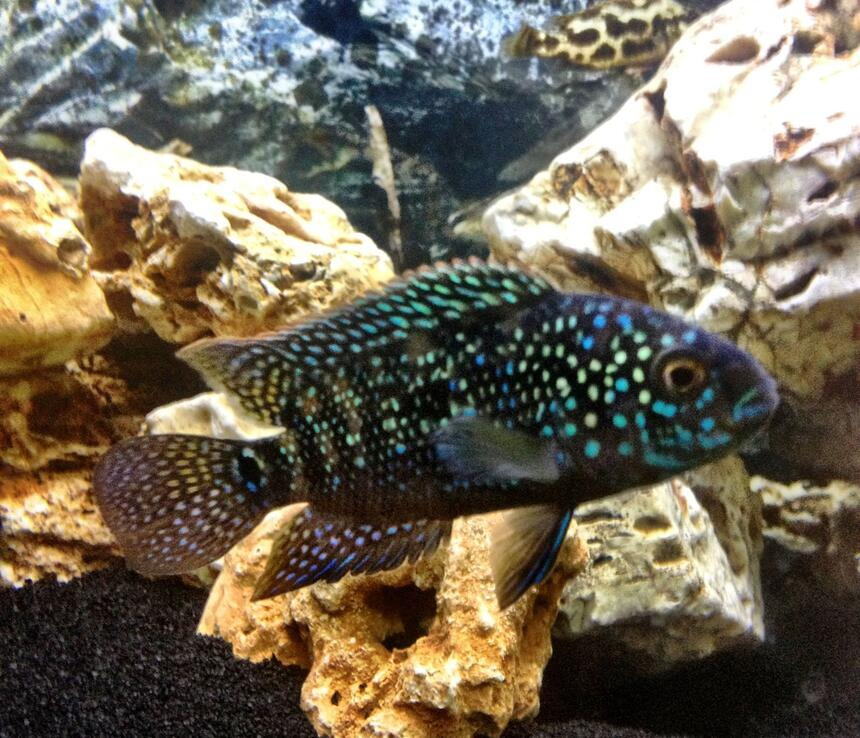 Rated #6: Freshwater Fish - Nandopsis Octofasciatum - Jack Dempsey Stocking In 25 Gallons Tank - King Dempsey