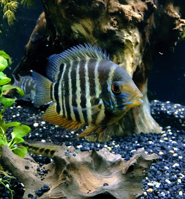 Rated #2: Freshwater Fish Stocking In 150 Gallons Tank - Red shoulder severum