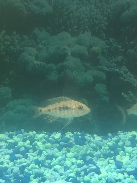 Rated #23: Freshwater Fish Stocking In 36 Gallons Tank - Name this fish please
