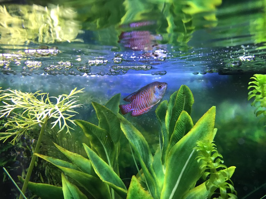 Rated #2: Freshwater Fish Stocking In 10 Gallons Tank - My Dwarf gourami