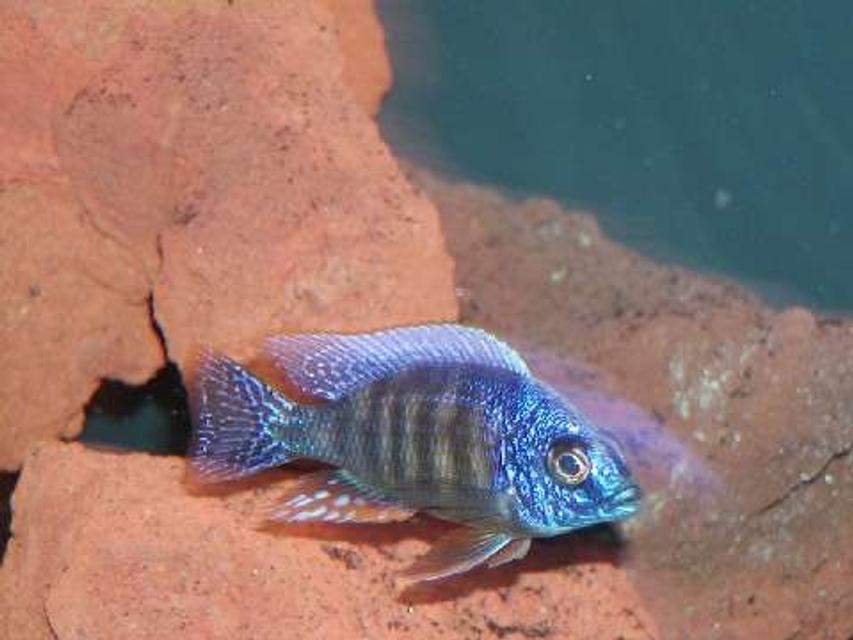 Rated #41: Freshwater Fish - Protomelas Steveni - Taiwan Reef Stocking In 135 Gallons Tank - reef