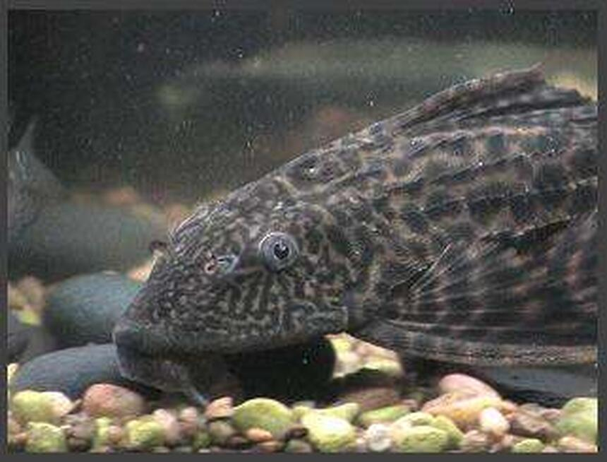 Rated #44: Freshwater Fish - Glyptoperichthys Gibbiceps - Sailfin Pleco (l-83) Stocking In 75 Gallons Tank - pleco