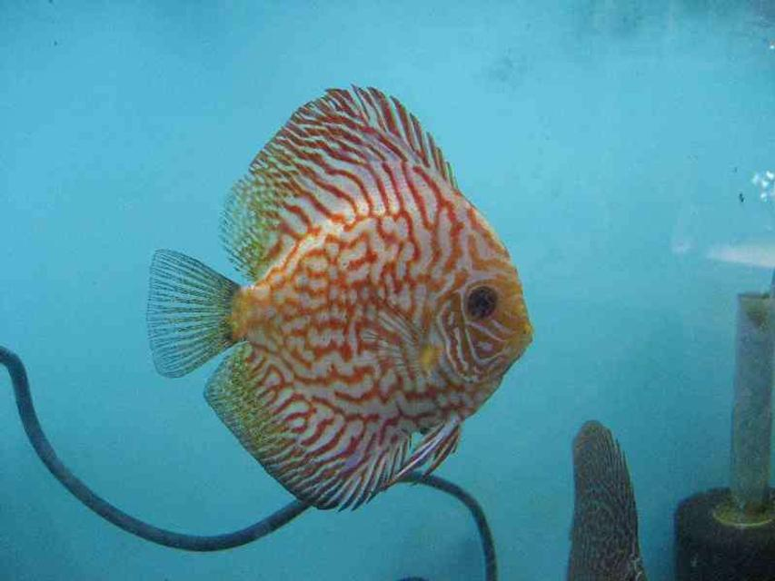 Rated #27: Freshwater Fish - Symphysodon Spp. - Snakeskin Discus Stocking In 40 Gallons Tank - Pigeon checker board