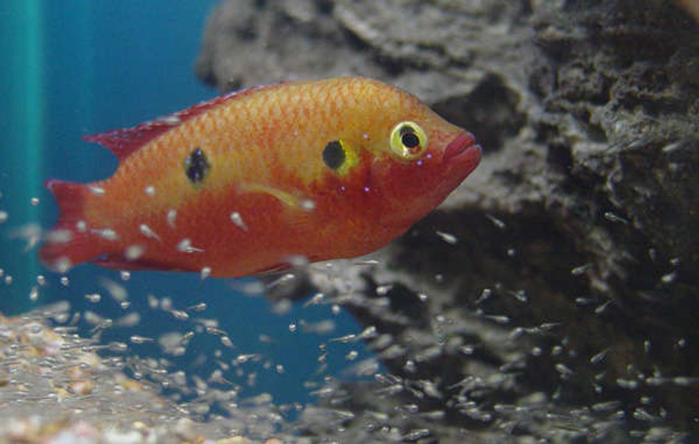 Rated #31: Freshwater Fish - Hemichromis Bimaculatus - Jewel Cichlid Stocking In 150 Gallons Tank - Jewel and fry. About 6 days old.