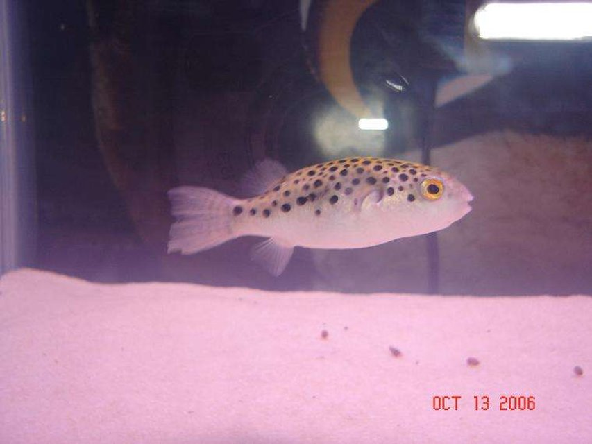 Rated #66: Freshwater Fish - Tetraodon Nigroviridis - Green Spotted Puffer Stocking In 125 Gallons Tank - GSP (green-spotted puffer)