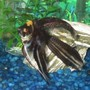 freshwater fish - pterophyllum sp. - marble veil angel