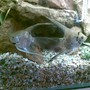 freshwater fish - pterophyllum sp. - gold veil angel stocking in 50 gallons tank - thiae our 2 angle fish, hanstle and gretal