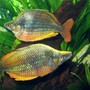 freshwater fish - melanotaenia solata - rainbowfish stocking in 75 gallons tank - Rainbowfish