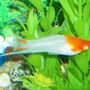 freshwater fish - albino koi swordtail stocking in 80 gallons tank - Male Koi Swordtail