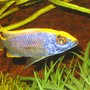 freshwater fish - otopharynx lithobates - sulphur crested lithobate stocking in 52 gallons tank - african cichlid lithobate