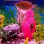 freshwater fish - macropodus opercularis - blue paradise stocking in 30 gallons tank - gouramis and tetra