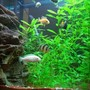 freshwater fish - pseudotropheus socolofi (albino) - albino socolofi stocking in 140 gallons tank - LOVE MY FISH TANK I HOPE YOU LIKE IT TO.