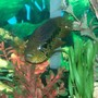 freshwater fish - parachromis managuensis - jaguar cichlid stocking in 140 gallons tank - 13 inch golden jaguar