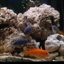 freshwater fish - neolamprologus leleupi - orange leleupi cichlid stocking in 75 gallons tank - feedn time