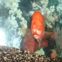 freshwater fish - amphilophus labiatus - red devil stocking in 55 gallons tank - Red Devil