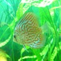 freshwater fish - symphysodon spp. - red turquoise discus stocking in 100 gallons tank - Beauty