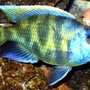 freshwater fish - nimbochromis venustus - venustus cichlid stocking in 125 gallons tank - Fatty