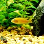 freshwater fish - melanochromis johannii - johanni cichlid stocking in 20 gallons tank - Young Female Johanni Cichlid??