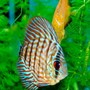 freshwater fish - symphysodon spp. - checkerboard discus stocking in 55 gallons tank - Checkers