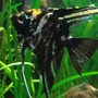 freshwater fish - pterophyllum sp. - marble veil angel stocking in 26 gallons tank - Black marble angel