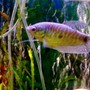 freshwater fish - trichogaster trichopterus - gold gourami stocking in 55 gallons tank - My gaourami