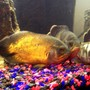 freshwater fish - astronotus ocellatus - red oscar stocking in 250 gallons tank - Rusty, Ozzie & Camo