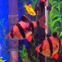 freshwater fish - puntius tetrazona - tiger barb stocking in 10 gallons tank - Tiger Barbs
