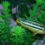 freshwater fish - melanochromis auratus - auratus cichlid stocking in 46 gallons tank - African Cichlids