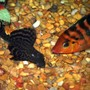 freshwater fish - glyptoperichthys gibbiceps - sailfin pleco (l-83) stocking in 125 gallons tank - Sailfin Pleco and Festae (Red Terror Cichlid)