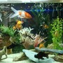 freshwater fish - carassius auratus - fantail goldfish stocking in 55 gallons tank - my cute little fishes