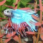 freshwater fish - betta splendens - crown tail betta stocking in 29 gallons tank - Crown Fin Beta