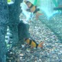 freshwater fish - botia macracantha - clown loach stocking in 52 gallons tank - Little Clown loaches