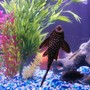 freshwater fish - glyptoperichthys gibbiceps - sailfin pleco (l-83) stocking in 75 gallons tank - marble sailfin pleco's belly