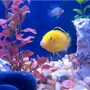 freshwater fish - labidochromis caeruleus - electric yellow cichlid stocking in 55 gallons tank - fish