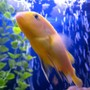 freshwater fish - pseudotropheus estherae - red zebra cichlid stocking in 55 gallons tank - fish