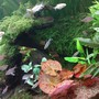 freshwater fish - paracheirodon innesi - neon tetra jumbo stocking in 85 gallons tank - java moss on wood