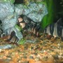 freshwater fish - botia macracantha - clown loach stocking in 90 gallons tank - JUST CLOWNING SAROUND
