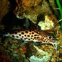 freshwater fish - synodontis multipunctatus - synodontis multipunctatus catfish stocking in 80 gallons tank - Synodontis Multipunctatus Catfish