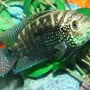 freshwater fish - nandopsis octofasciatum - jack dempsey stocking in 80 gallons tank - My Jack Dempsey Named Numbs