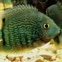freshwater fish - heros serverus - green severum stocking in 75 gallons tank - male green severum