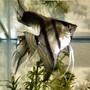 freshwater fish - pterophyllum scalare - angelfish stocking in 20 gallons tank - One of my Pterophyllum Scalare. I love Angel Fish!