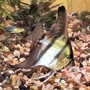 freshwater fish - pterophyllum scalare - angelfish stocking in 20 gallons tank - A nice looking Angel Fish. What do you think?