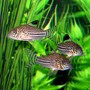 freshwater fish - corydoras sp. - false julii cory cat stocking in 10 gallons tank - Three of my Julii Corydoras. Busy little guys, tough to catch 3 of them being still!