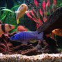 freshwater fish - sciaenochromis ahli - electric blue cichlid stocking in 75 gallons tank - (Left to right) Clown Loach, Electric Blue, Red Forest Jewel, Hajomaylandi, Red Zebra & Leleupi.