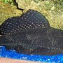 freshwater fish - glyptoperichthys gibbiceps - sailfin pleco (l-83) stocking in 72 gallons tank - Pleco