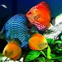 freshwater fish - symphysodon sp. - yellow marlboro discus stocking in 29 gallons tank - 29gallon Bio Cube Discus Tank